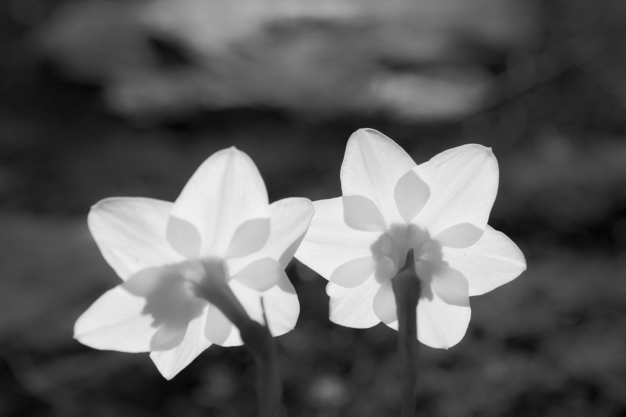 130427_Spring_Daffys_BW by Karl Graf.