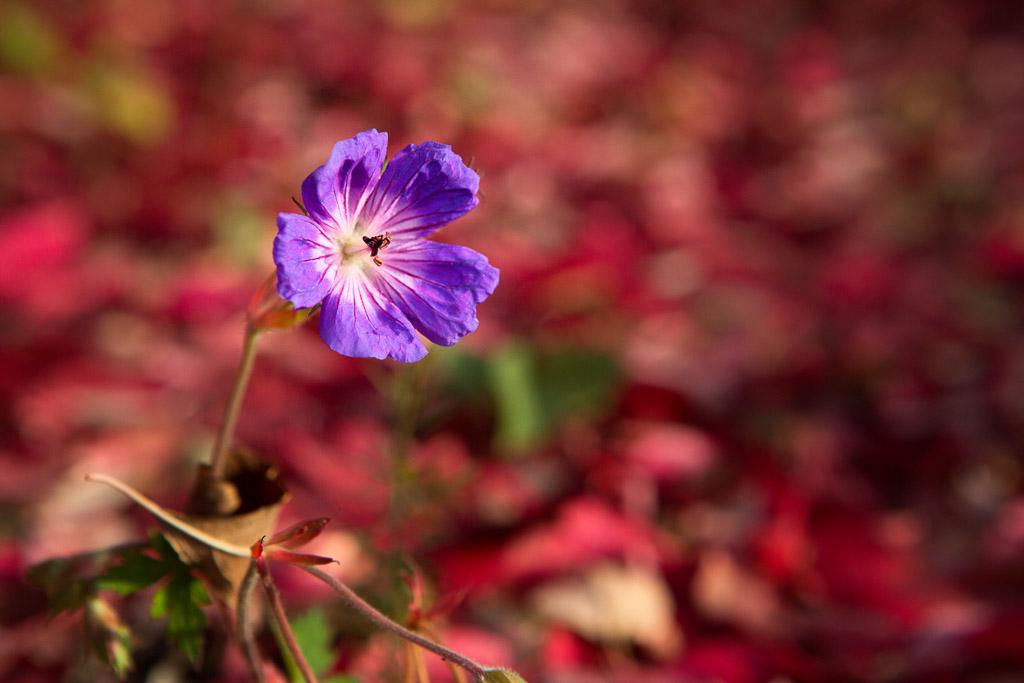 131207_Fall_Last Bloom by Karl Graf.