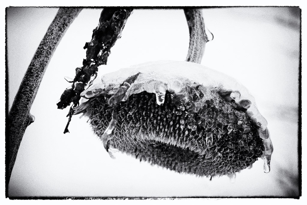 131210_Sunflower in Snow by Karl Graf.