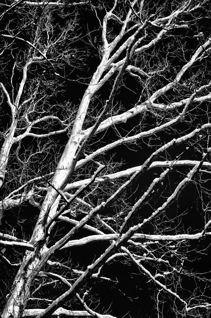 131214_PV_Sycamore by © 2013 Karl Graf.