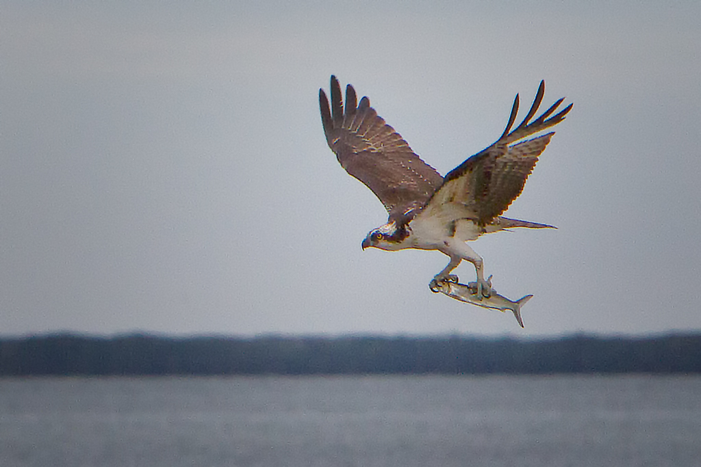 140128_Osprey by Karl G. Graf.