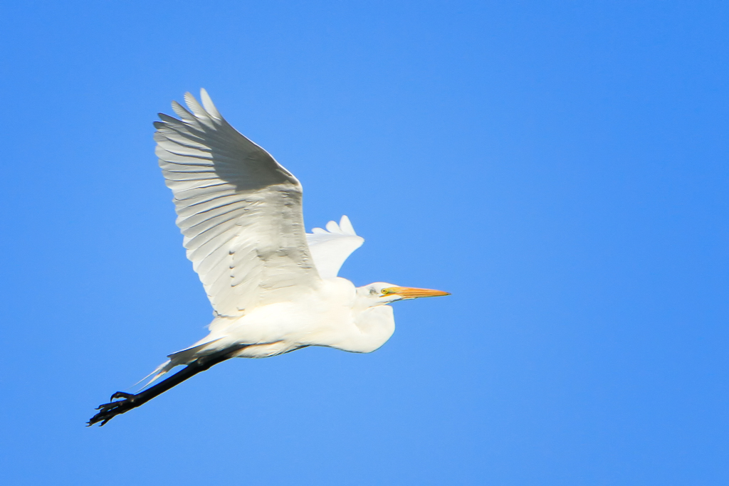 140201_Gr. White Egret by Karl G. Graf.