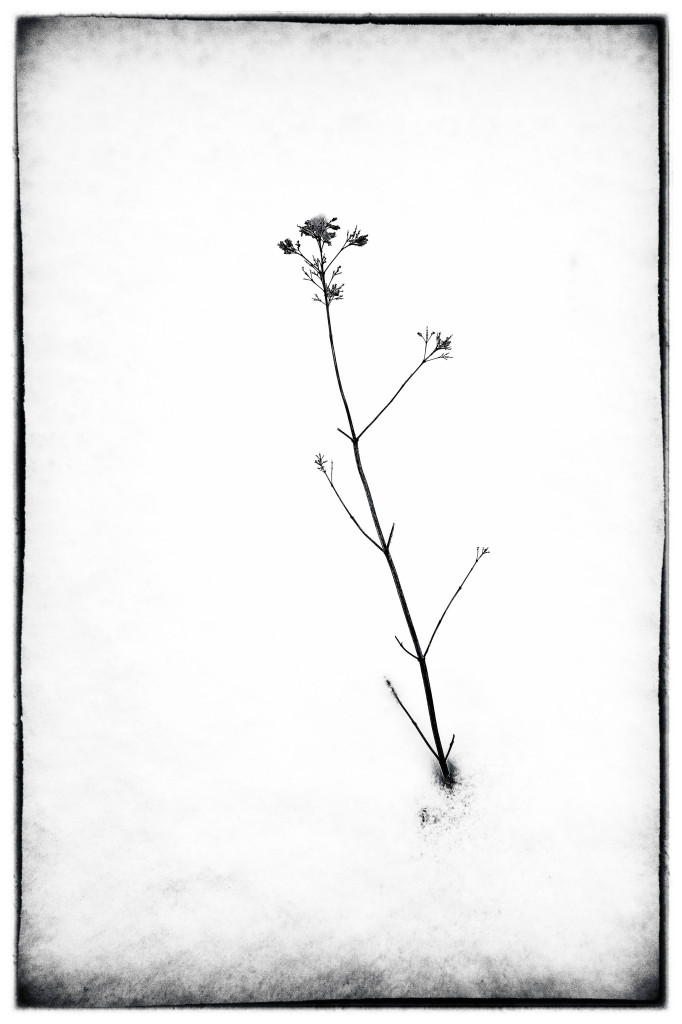 140219_Weed in Snow 1 by © 2013 Karl Graf.