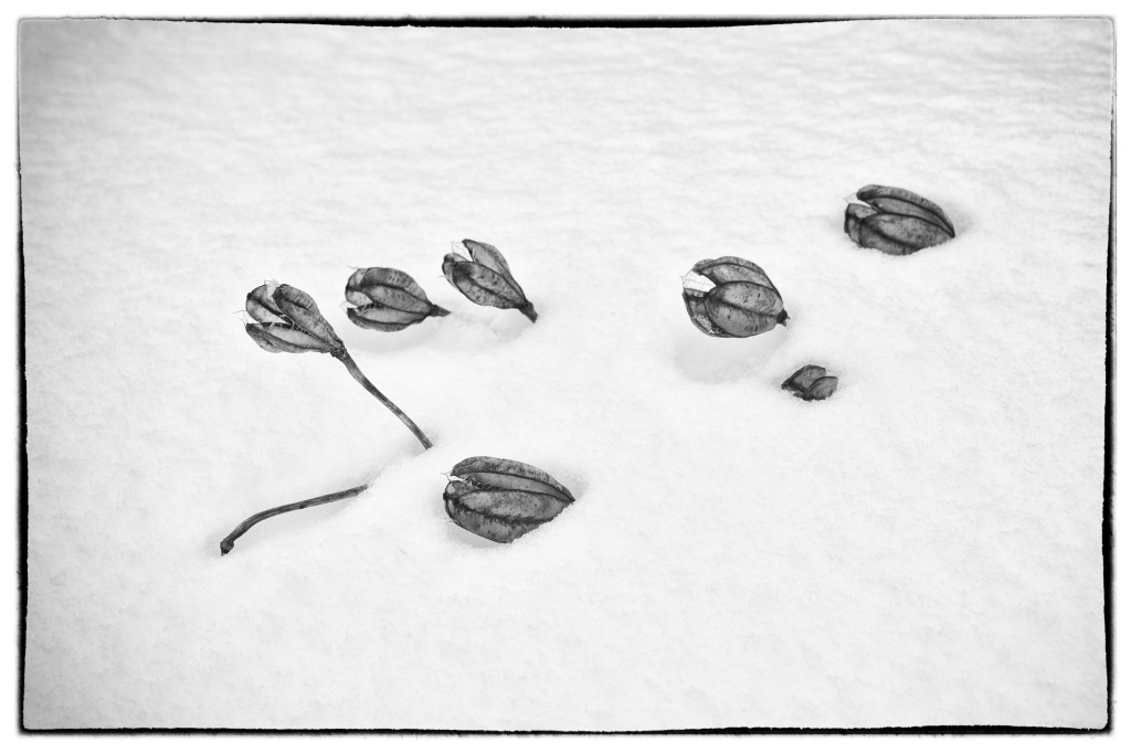 140220_Lily in Snow 1 by © 2013 Karl Graf.
