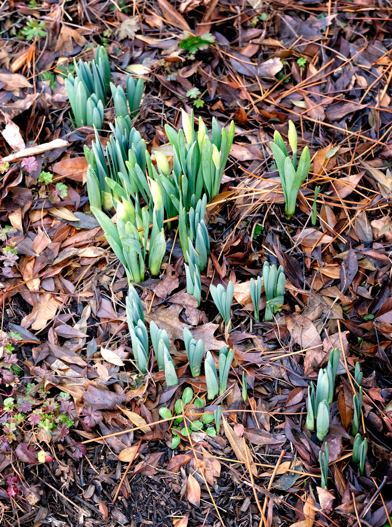140331_Emerging Daffies by .