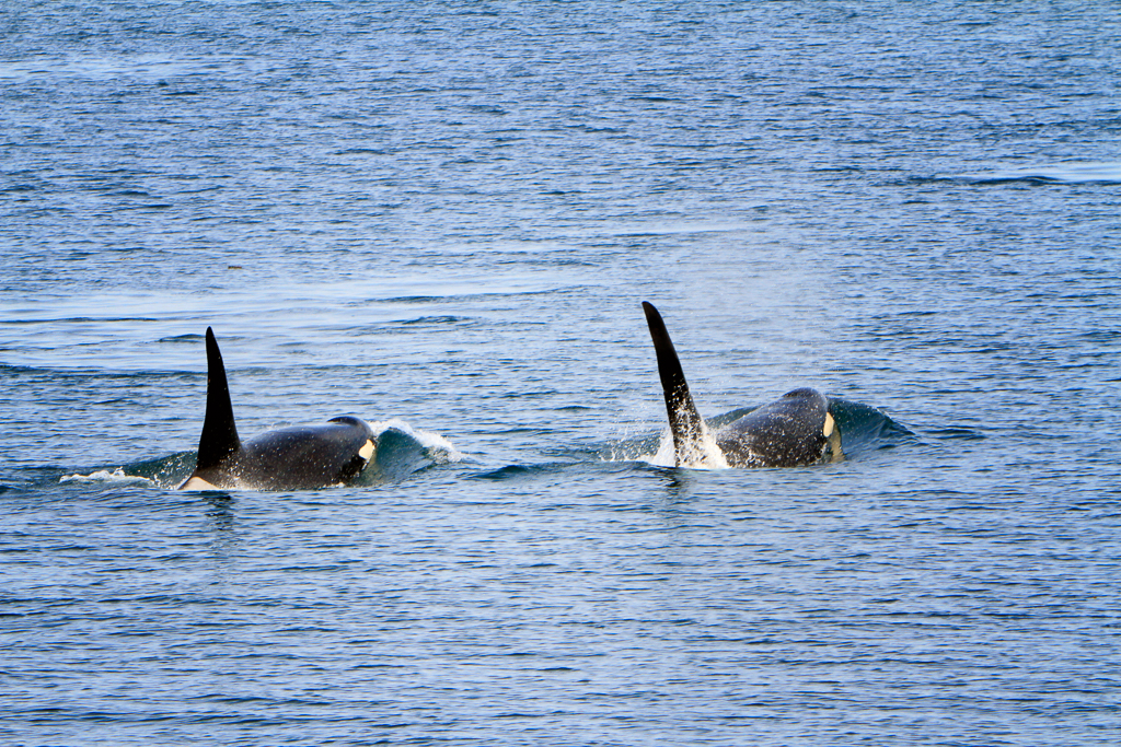 140420_Orcas by Karl G. Graf.