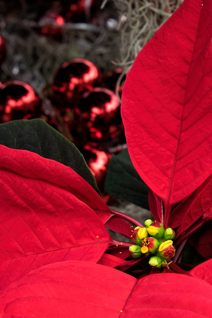 141227_Red Poinsettia by .