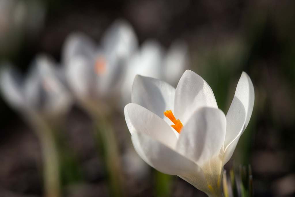 150405_First Crocus Blooms by Karl Graf.