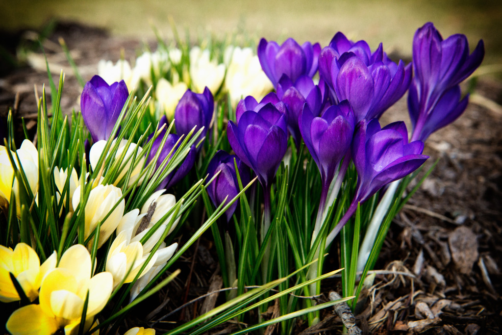 150407_Purple&Gold_Crocus by Karl Graf.