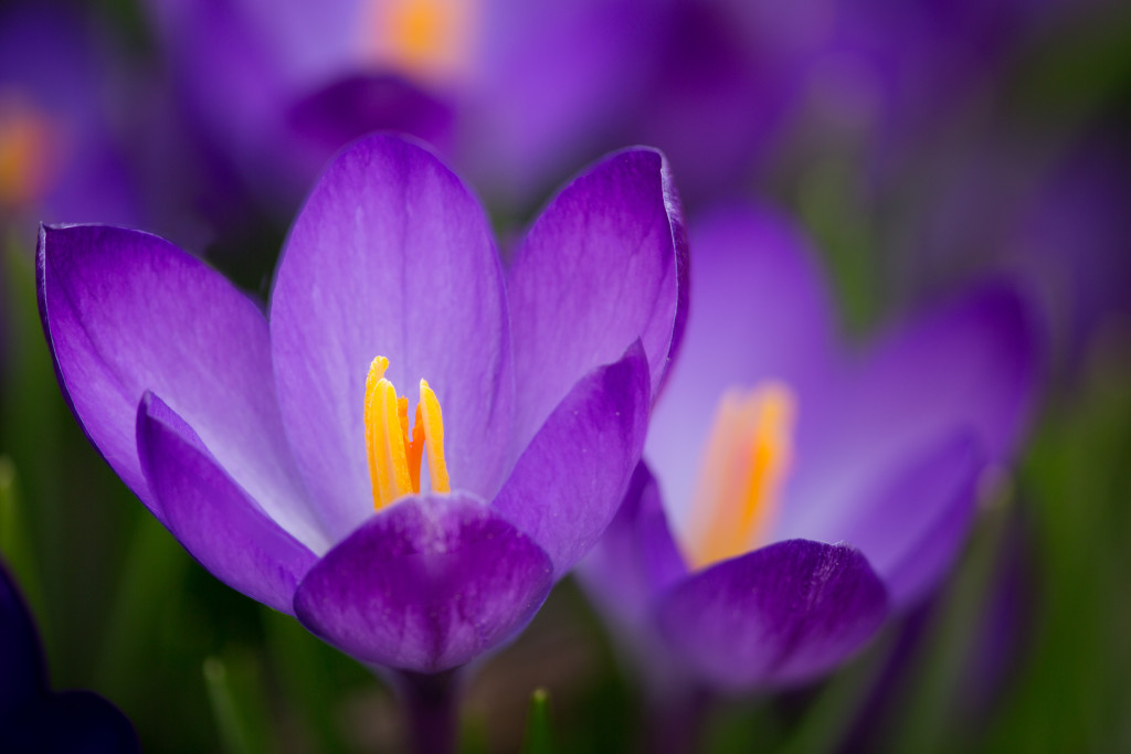 150410_PurpleCrocus_ME by Karl Graf.