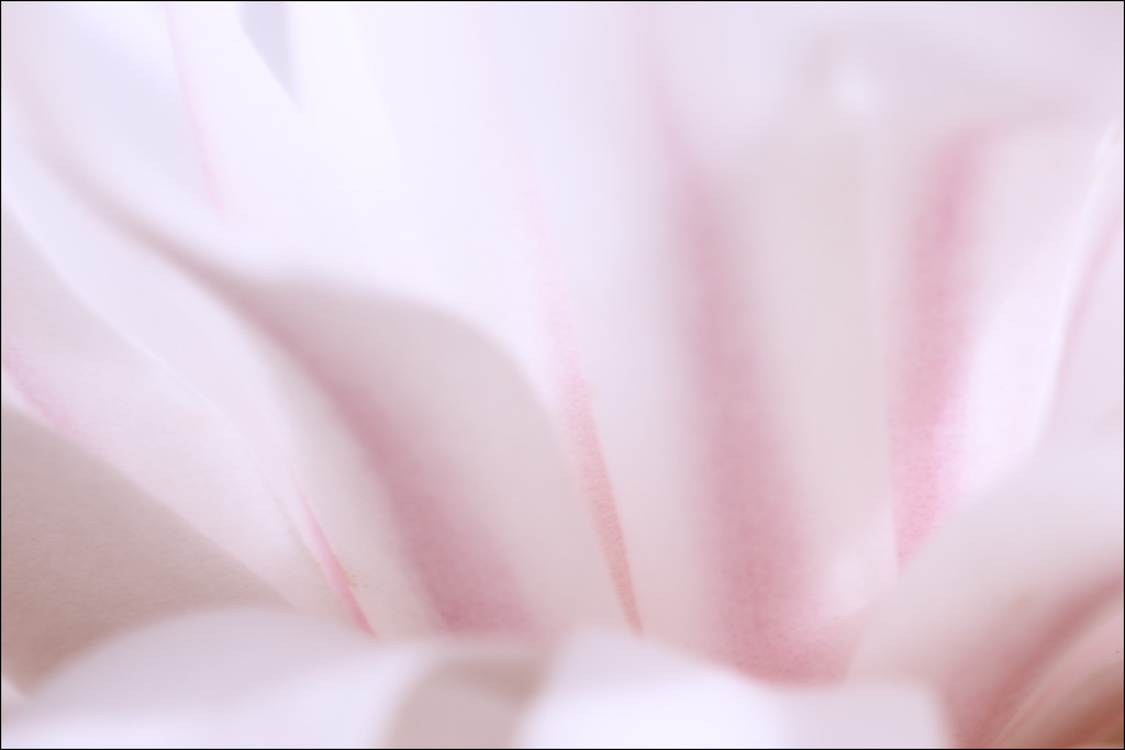 150415_Star Magnolia Macro Soft by Karl G. Graf.