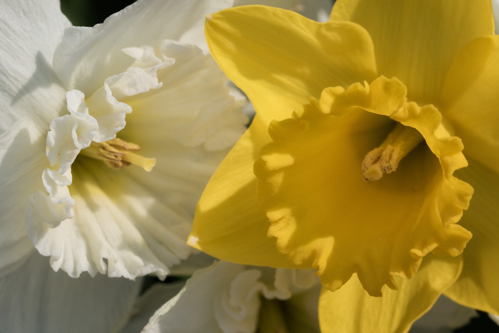 150422_Yellow & White Daffodils by Karl G. Graf.